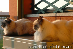 Sacred Birman cats