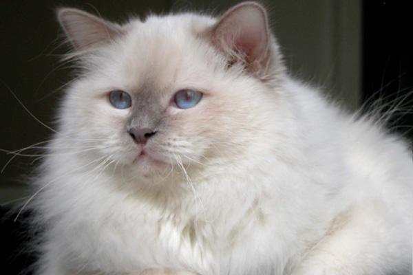 Cat Birman Pictures