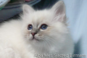 kittens of sacred birmans