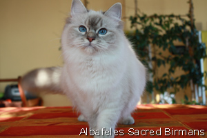 Ohlala, blue-tabby point