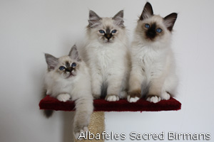 Sacred Birman Kittens
