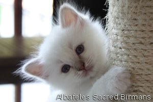 picture: Minosse lilac-tabby-point