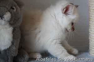 picture: Pauline blue-tabby-point
